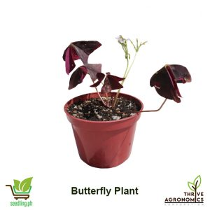 butterfly plant